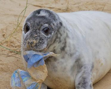 Seal with plastic stuck in mouth